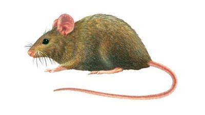 Mus musculus domesticus - topolino domestico